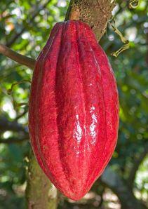 Bostanul/Păstaia de cacao