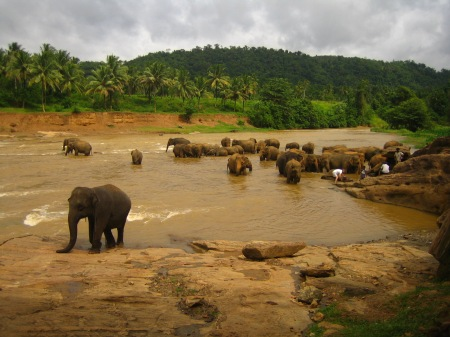 Elephants_at_the_river,_Sri_Lanka